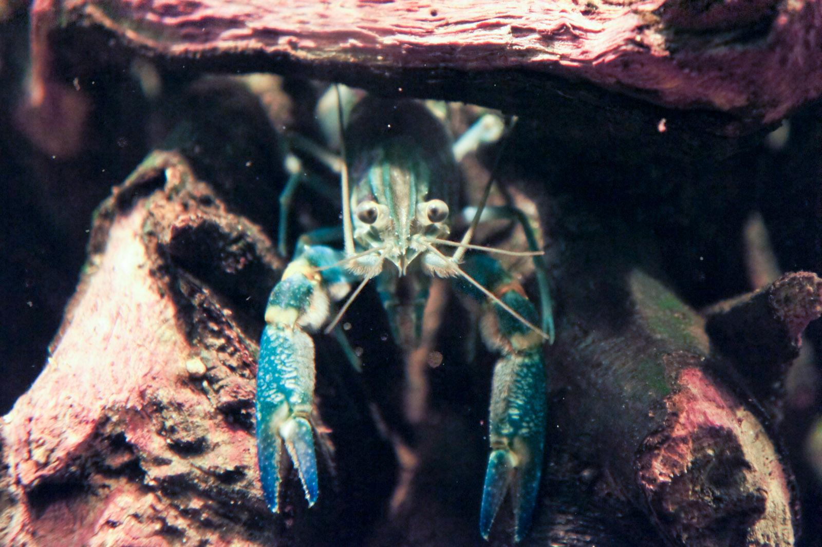 Florida blue crayfish - rÄ™ce opadajÄ…