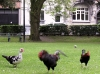 Kury w Muinkpark