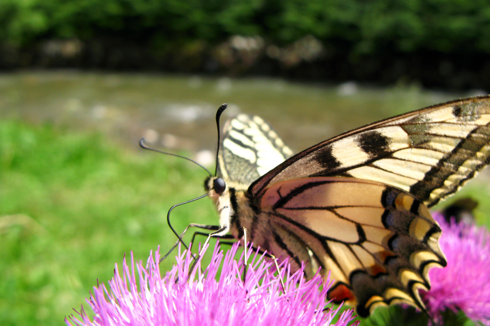 Old World Swallowtail (Papilio machaon), Małe Ciche, Poland