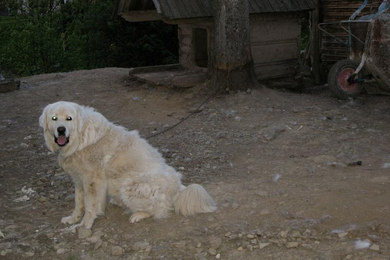 Our dog - Tatra Shepperd