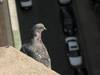 Pigeon from the tower of Basilica St. Elisabeth